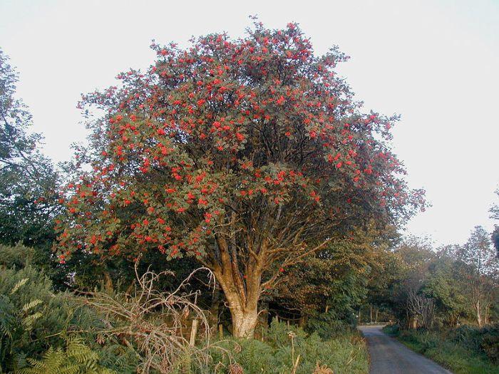 800px-Rowan_tree_20081002b